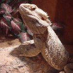 Ares the Bearded Dragon